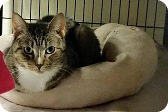 Domestic Shorthair Cat for adoption in Sewaren, New Jersey - Bingo