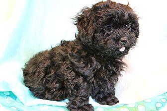 Shih Tzu/Poodle (Miniature) Mix Puppy for adoption in Staunton, Virginia - Jack-O-Lantern