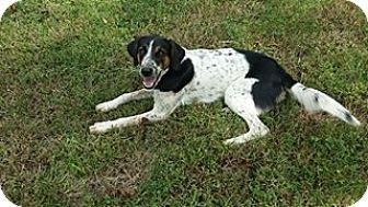 English Springer Spaniel/Coonhound Mix Dog for adoption in Farmington, Michigan - Anabel