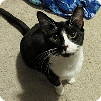 Domestic Shorthair Cat for adoption in Ellicott City, Maryland - .Beth