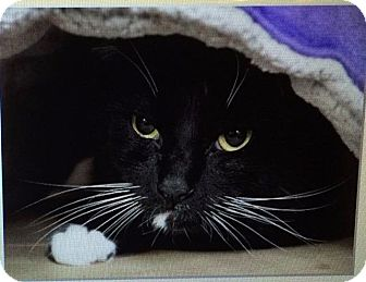 Domestic Shorthair Cat for adoption in Freeport, New York - Solo