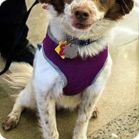 Adopt A Pet :: Matisse (Mattie)-ADOPTED - Sacramento, CA