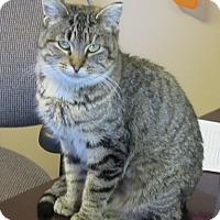 Domestic Shorthair Cat for adoption in Glenwood, Minnesota - Elle
