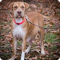 Adopt A Pet :: Brown Sugar - Alpharetta, GA