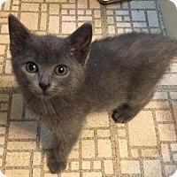Adopt A Pet :: Ax Litter - Lagavulin ('Lin') - Williamston, MI