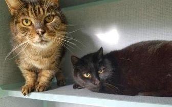 Domestic Shorthair/Domestic Shorthair Mix Cat for adoption in Manteo, North Carolina - Star