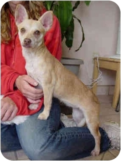 Chihuahua Mix Puppy for adoption in Upland, California - Peanut