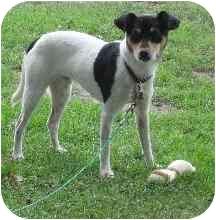 Rat Terrier Dog for adoption in Worcester, Massachusetts - Sammy Davis