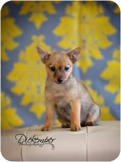 Yorkie, Yorkshire Terrier/Pomeranian Mix Puppy for adoption in Vandalia, Illinois - Zoey