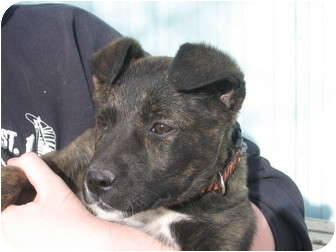 Terrier (Unknown Type, Medium) Mix Puppy for adoption in Greeley, Colorado - Punky