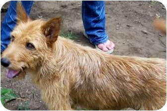 Airedale Terrier Mix Dog for adoption in Remlap, Alabama - Missy