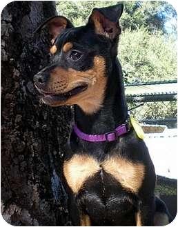 Chihuahua/Miniature Pinscher Mix Puppy for adoption in Santa Barbara, California - Lexi