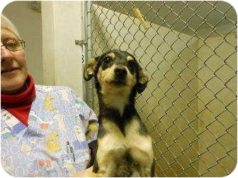 Shepherd (Unknown Type)/Chihuahua Mix Dog for adoption in Clovis, New Mexico - Coco