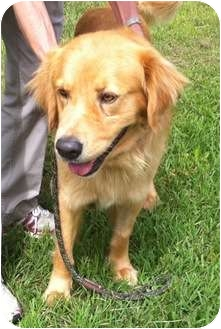 Golden Retriever Dog for adoption in New Canaan, Connecticut - Charlie