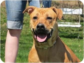 Mastiff/Labrador Retriever Mix Dog for adoption in Long Beach, New York - Lacey