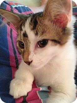 Domestic Shorthair Kitten for adoption in Union, Kentucky - Isa
