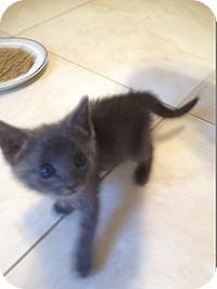 Domestic Mediumhair Kitten for adoption in Tampa, Florida - Gracie
