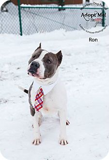 Pit Bull Terrier Mix Dog for adoption in Middlebury, Connecticut - Ron