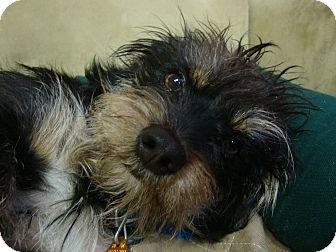 Terrier (Unknown Type, Small) Mix Dog for adoption in Philadelphia, Pennsylvania - Duncan