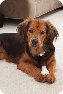Australian Shepherd/Cocker Spaniel Mix Puppy for adoption in Orange, California - Klara