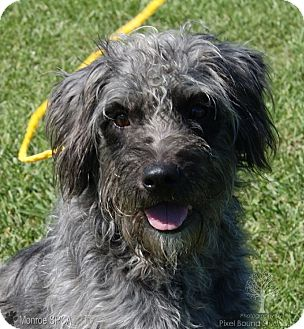 Portuguese Water Dog/German Wirehaired Pointer Mix Dog for adoption in Monroe, Michigan - Fritz