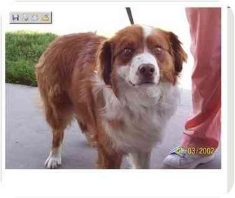 Anatolian Shepherd Dog for adoption in Orem, Utah - Dugan