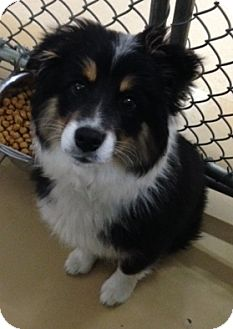 Australian Shepherd Mix Puppy for adoption in St. Charles, Illinois - Chloe