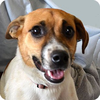 Jack Russell Terrier Dog for adoption in Terre Haute, Indiana - Cookie