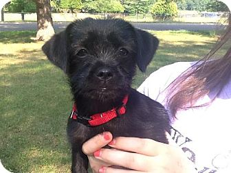 Shih Tzu/Maltese Mix Puppy for adoption in Detroit Lakes, Minnesota - Lena (Rowdie)