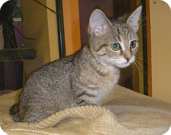 Domestic Shorthair Cat for adoption in Lovingston, Virginia - Bonnie