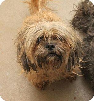 Shih Tzu Mix Dog for adoption in Philadelphia, Pennsylvania - Lucky Star