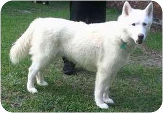 Siberian Husky/Samoyed Mix Dog for adoption in Upper Marlboro, Maryland - NICHOLAI