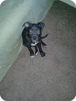 Labrador Retriever Mix Puppy for adoption in Jacksonville, Florida - Tonka