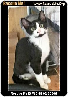 Siamese Kitten for adoption in Waldorf, Maryland - Tee Jr