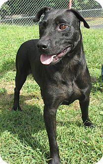 Labrador Retriever/Terrier (Unknown Type, Medium) Mix Dog for adoption in Reeds Spring, Missouri - Charlotte