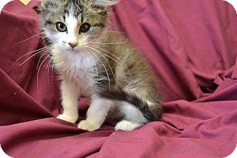 Domestic Longhair Kitten for adoption in Larned, Kansas - Thomas