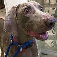 Weimaraner Dog for adoption in Fayetteville, Arkansas - Alley