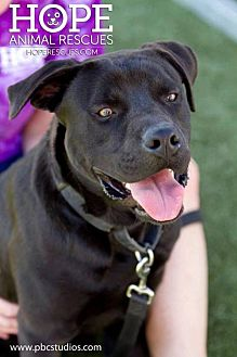 American Bulldog/Labrador Retriever Mix Dog for adoption in Godfrey, Illinois - Cole