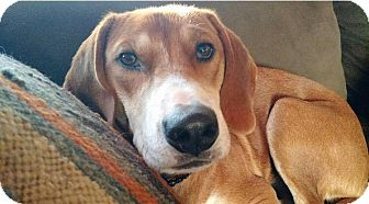 Labrador Retriever/Hound (Unknown Type) Mix Dog for adoption in Sinking Spring, Pennsylvania - Eve