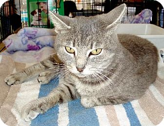 Manx Cat for adoption in Melrose, Florida - Lila
