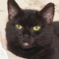 Domestic Shorthair/Domestic Shorthair Mix Cat for adoption in Westville, Indiana - Shadow