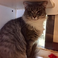 Domestic Mediumhair Cat for adoption in Versailles, Kentucky - Tulip