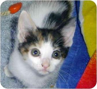Domestic Shorthair Kitten for adoption in Montevallo, Alabama - Clawdia