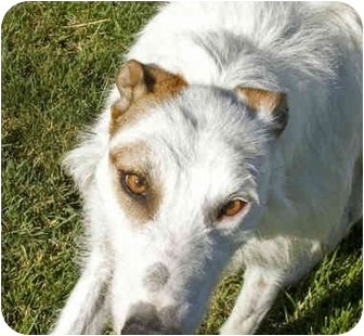 Irish Wolfhound/Greyhound Mix Dog for adoption in Santa Rosa, California - Petie