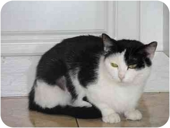 Domestic Shorthair Cat for adoption in Long Beach, New York - Kimmy