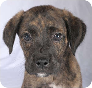 Boxer/German Shepherd Dog Mix Puppy for adoption in Chicago, Illinois - Clyde*ADOPTED!*