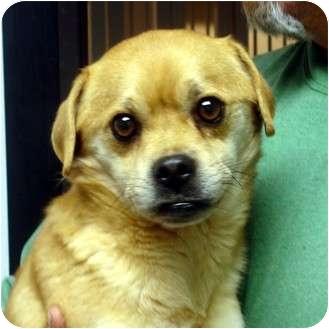 Pug/Beagle Mix Dog for adoption in Manassas, Virginia - joker