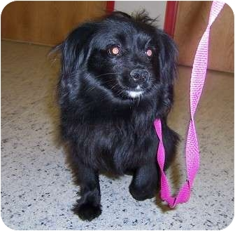 Tibetan Spaniel Mix Dog for adoption in Cincinnati, Ohio - Brittney