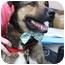 Photo 2 - Shepherd (Unknown Type)/German Shepherd Dog Mix Dog for adoption in Harrisonburg, Virginia - Boss