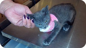 Russian Blue Kitten for adoption in Clarksville, Indiana - Tebow